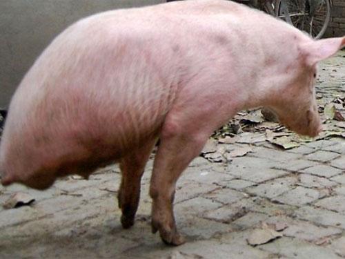 Секс свиньи